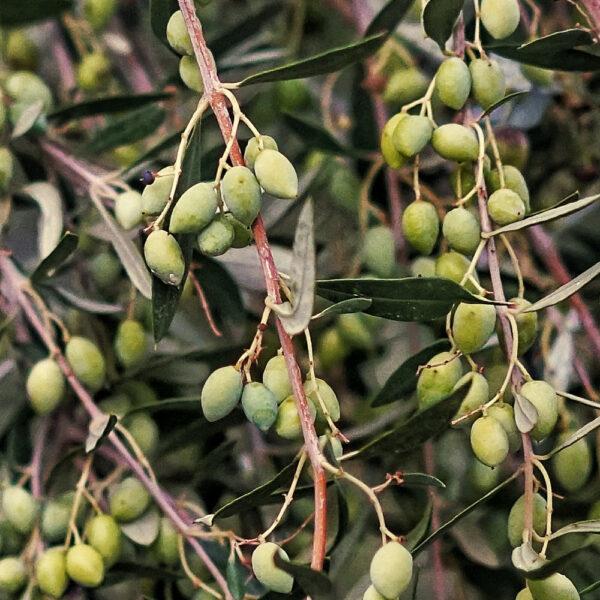 Koroneiki olijfolie Kreta Griekenland
